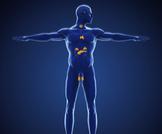 أنواع الغدد الصماء وأبرز وظائفها