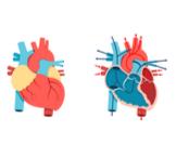 مكونات القلب