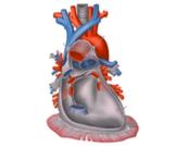 ما هو شغاف القلب