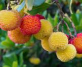 فاكهة اللنج (القطلب): تعرّف عليها