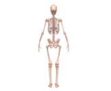 أقوى العظام في جسم الإنسان وأضعفها