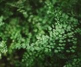 كزبرة البئر: عشبة بفوائد متنوعة