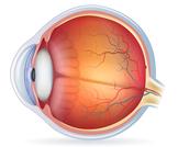 أجزاء العين بالترتيب