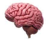 المادة البيضاء في الدماغ