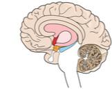 الجزء المسؤول عن الذاكرة في الدماغ