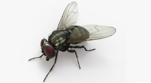 أمراض يسببها الذباب