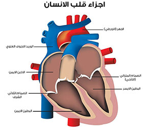 اجزاء قلب الانسان