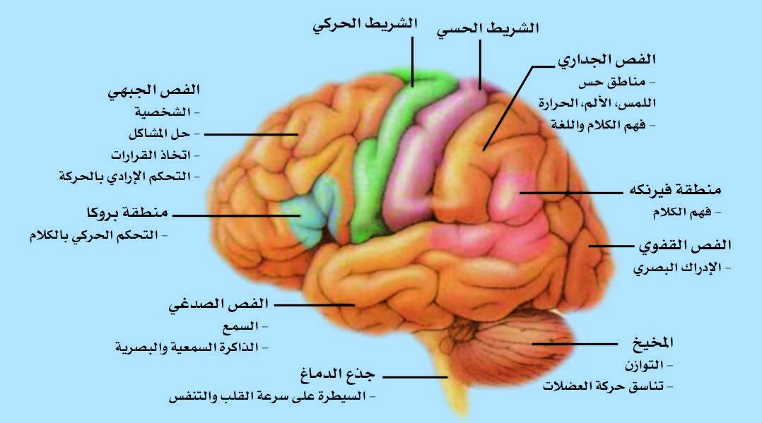 المناطق الوظيفية العامة لقشرة الدماغ.