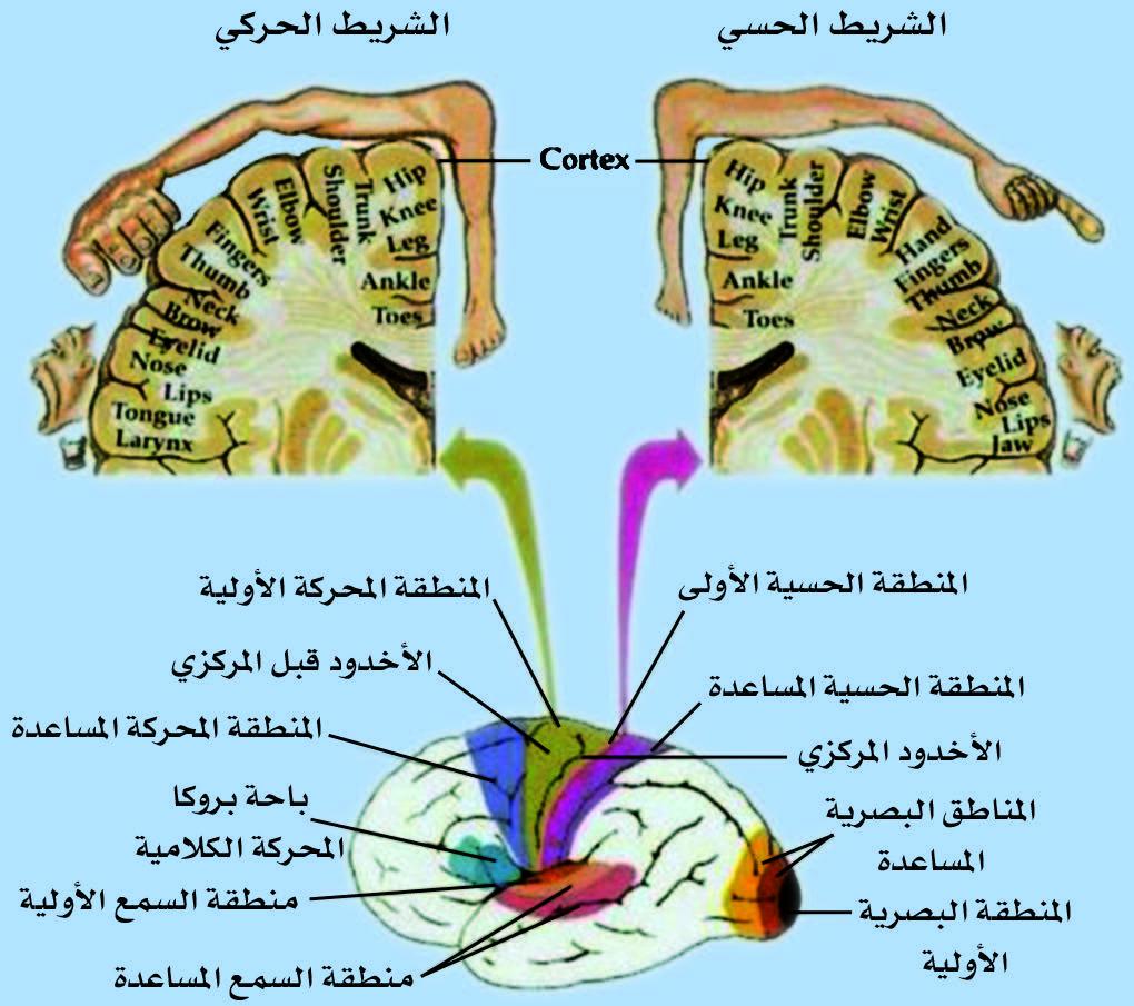 المناطق الوظيفية العامة لقشرة الدماغ وتوزع أجزاء الجسم على الشريط الحسي والحركي حسب الأهمية (اليد تملك قسماً أكبر من الجذع كاملاً، وكذلك يملك اللسان والشفتان مناطق عصبية كبيرة).