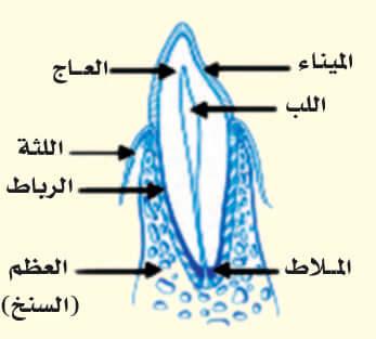 البنية التشريحية للسن.