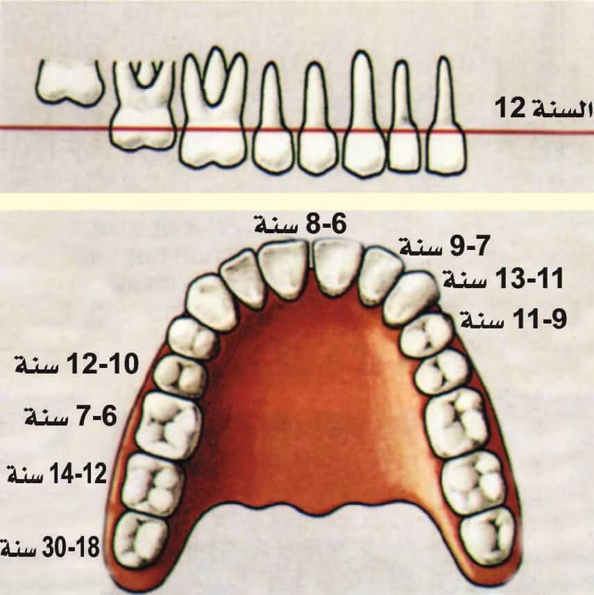تسلسل بزوغ الأسنان الدائمة