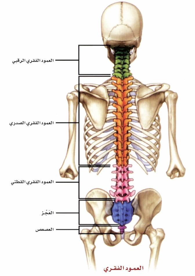 عضلات الإنسان، مبينة من الأمام. يعود تاريخ هذا الرسم إلى القرن التاسع عشر.