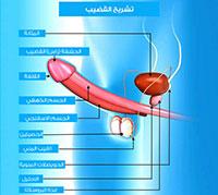 الجهاز التناسلي الذكري
