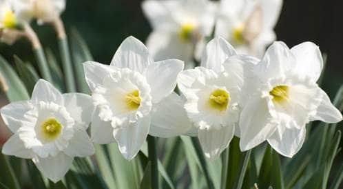 زهور في حديقتك تستعمل في صناعة أدوية وعلاجات هامة %D9%86%D8%B1%D8%AC%D8%B3