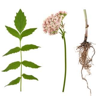 نبات الناردين