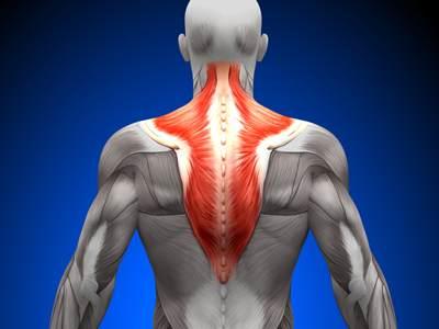 صورة تشريحية لجزء من عضلات الظهر