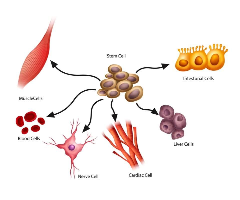 صورة توضيحية للخلايا الجذعية