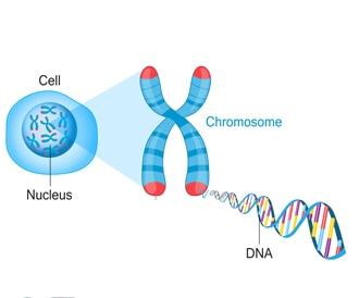 صورة توضيحية للكرموسوم