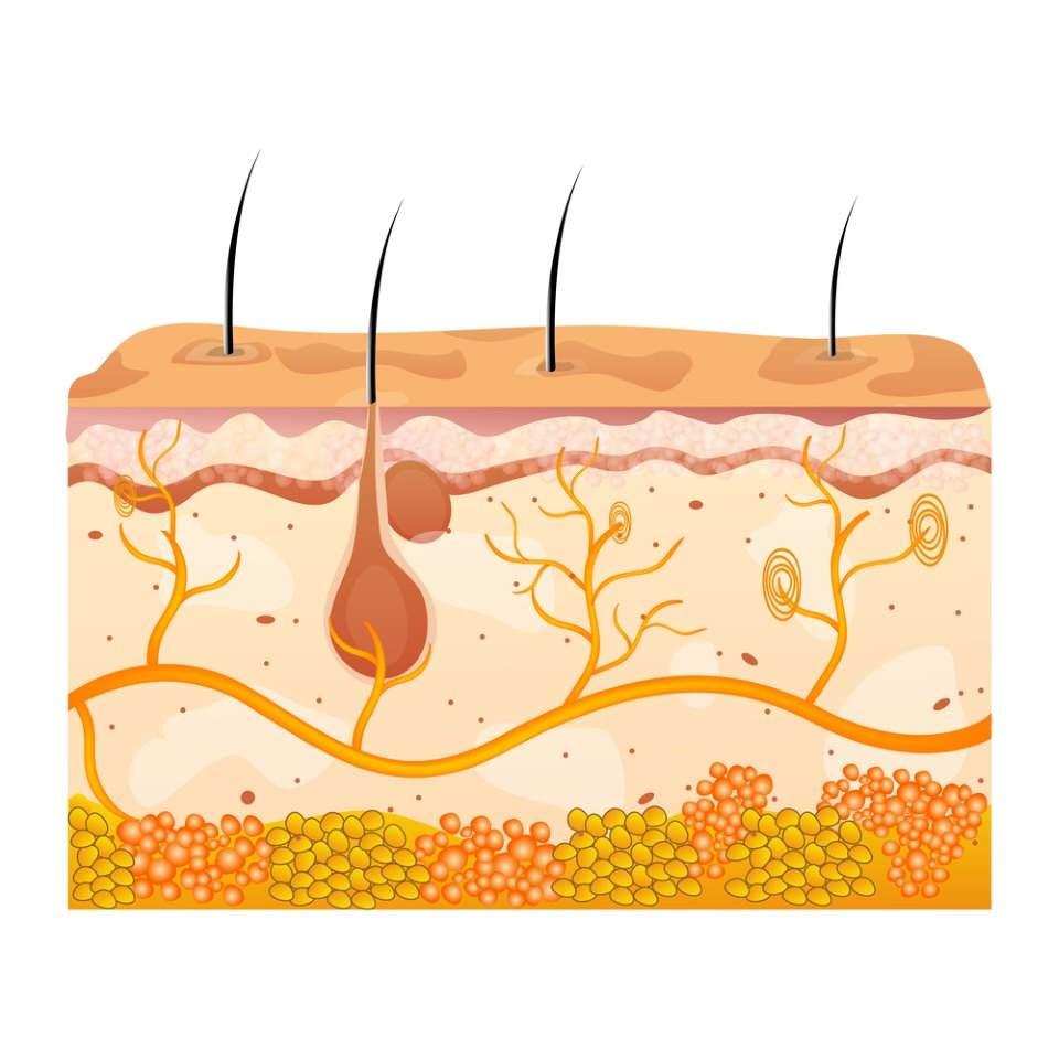 طبقات الجلد