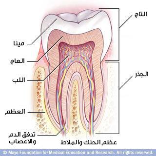 الأسنان: من التاج للجذر